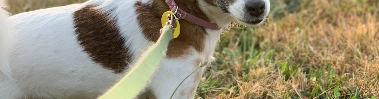 small dog on leash smiling at camera