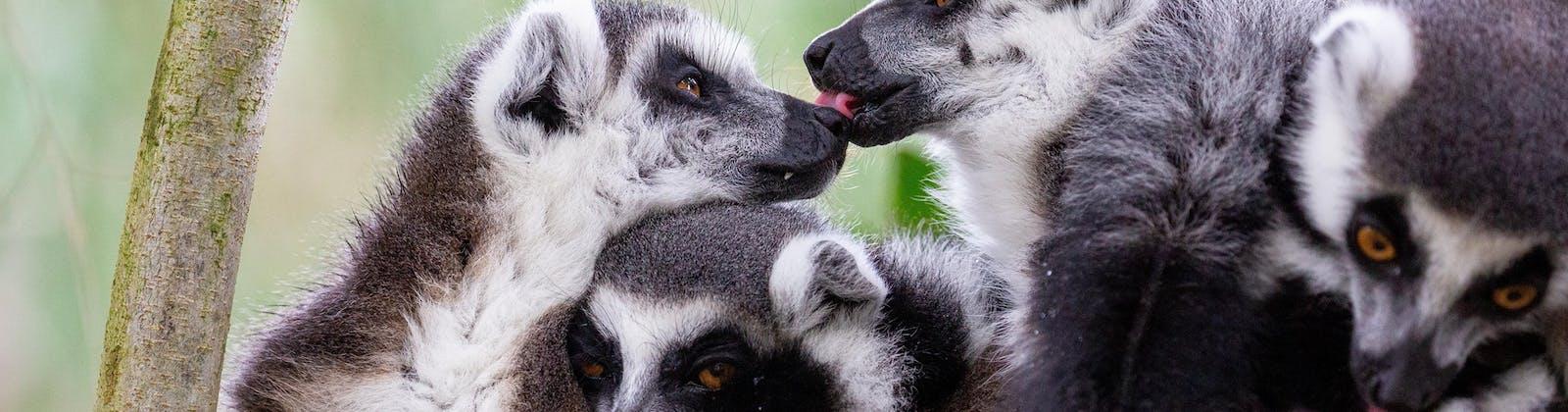 Celebrate Valentine's At Auckland Zoo