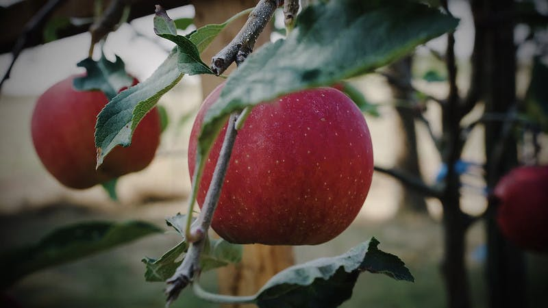 Apfel Rot Baum