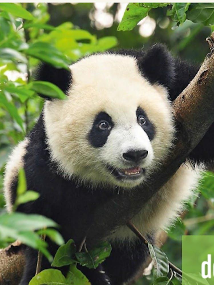 Pandabär auf einem Baum