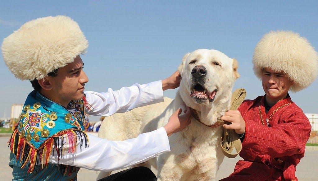 Среднеазиатская овчарка: фото, характеристика породы, описание, отзывы. Кормление щенков среднеазиатской овчарки