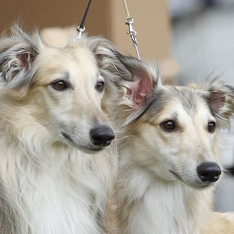 собаки Шелковистый виндхаунд