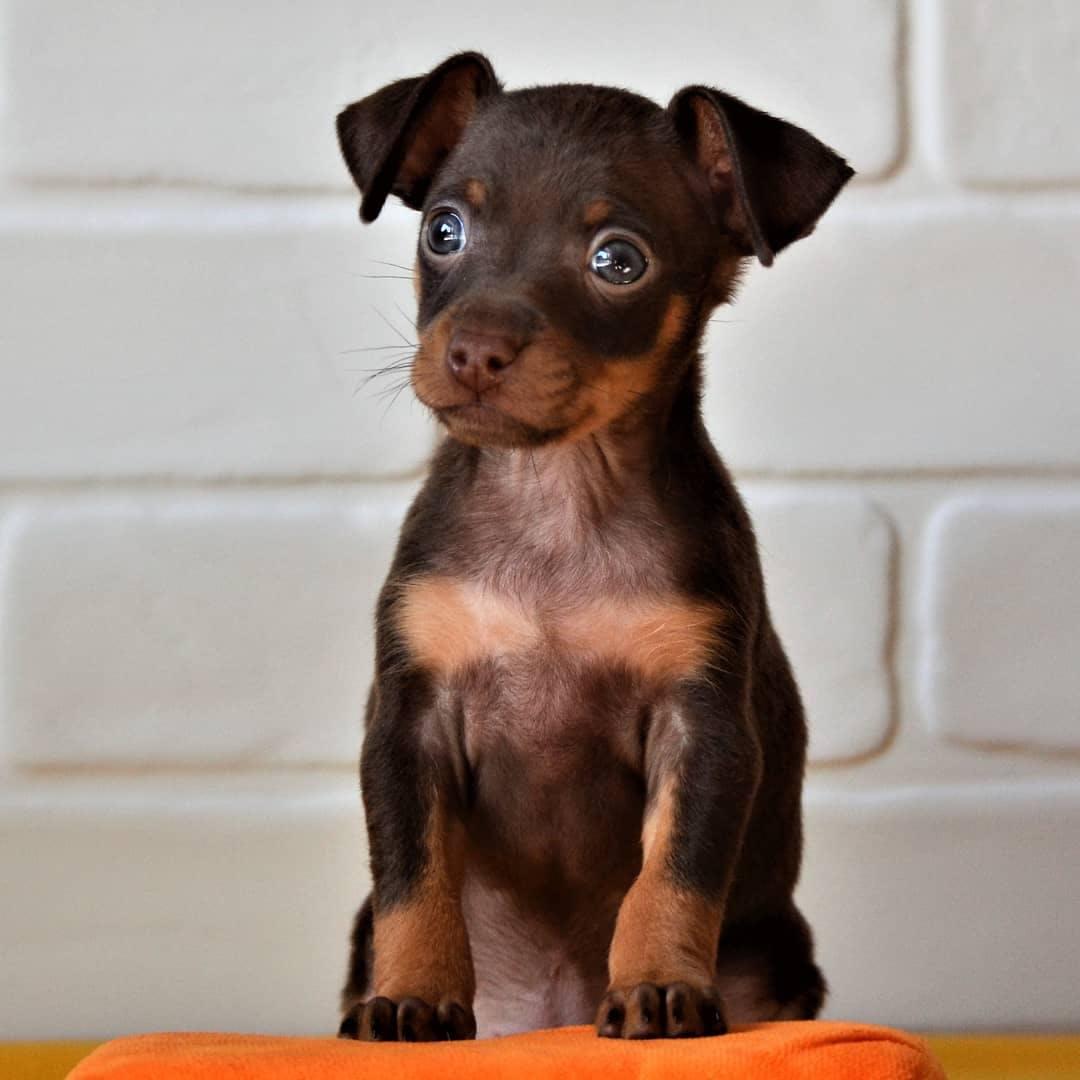 цена щенка пражского крысарика