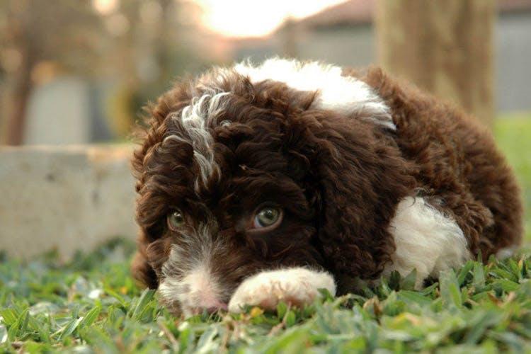 щенок породы Испанская водяная собака