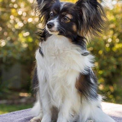 собака породы Папильон