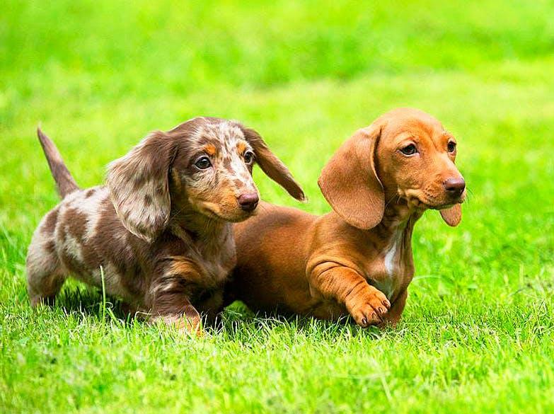 Такса собака, карликовая, кроличья, мини, длинношерстная, жесткошерстная, фото, отзывы