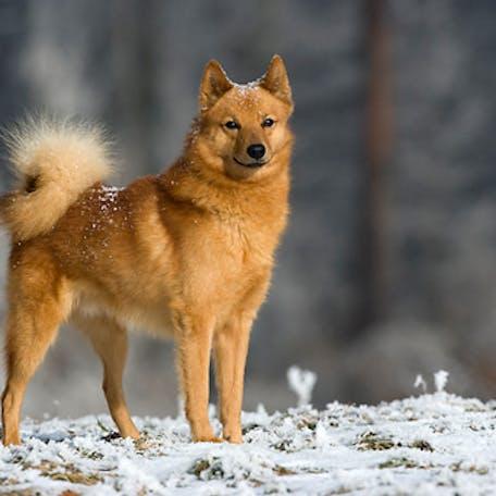 собака Финский шпиц
