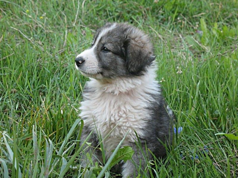 цена щенка румынской карпатской овчарки