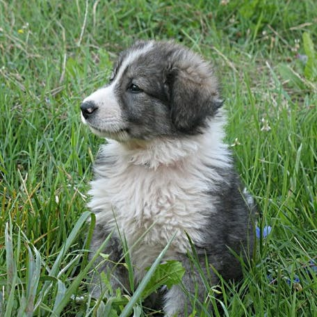 щенок породы Румынская карпатская овчарка