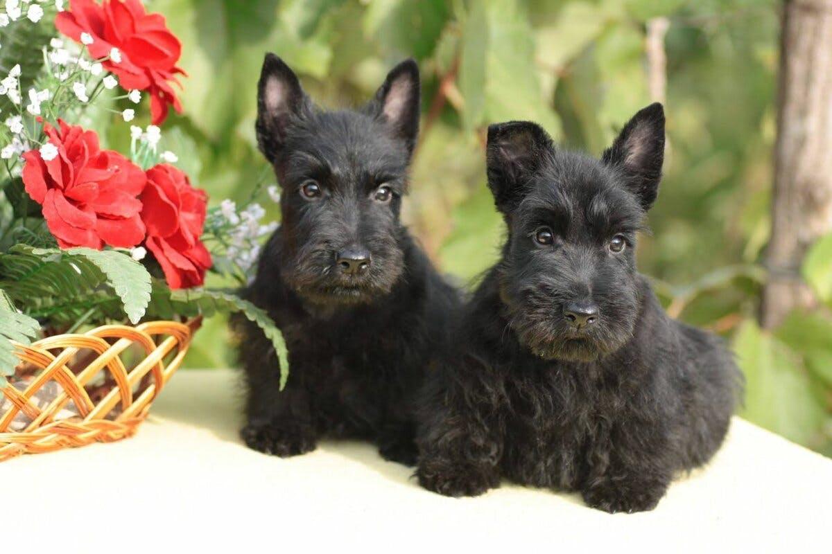 цена щенка шотландского терьера