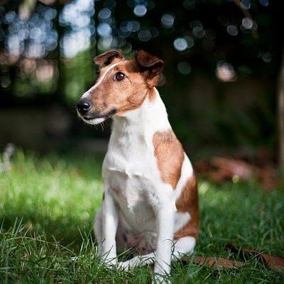 фото собаки Фокстерьер