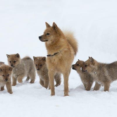 мама с щенками породы Финский шпиц