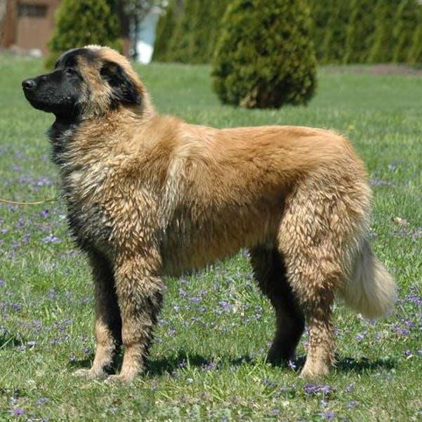 Эштрельская овчарка