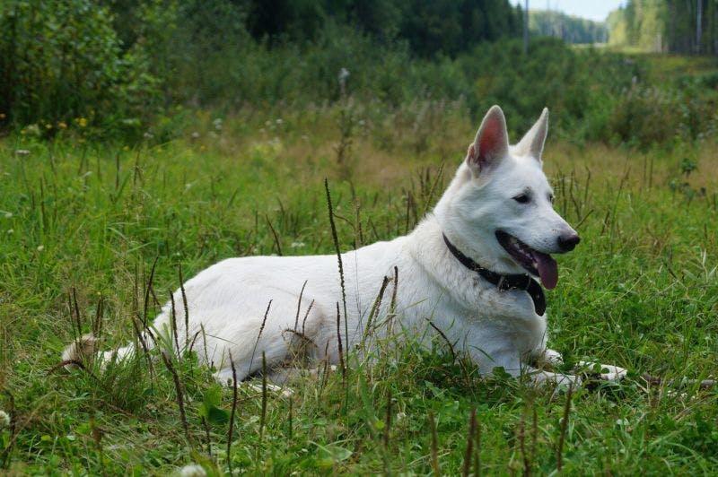 особенности породы Шведский белый элкхунд