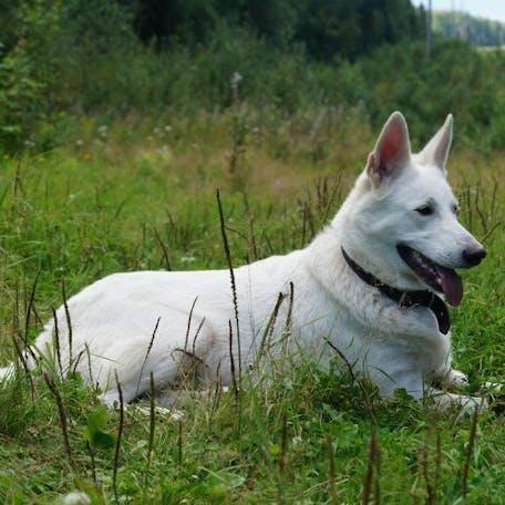 собака Шведский белый элкхунд
