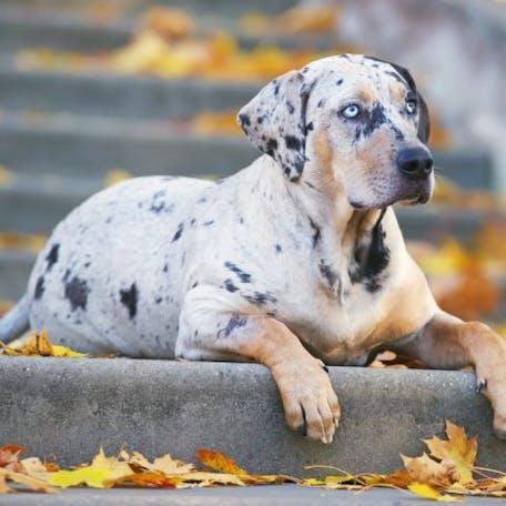 окрас породы Леопардовая собака Катахулы