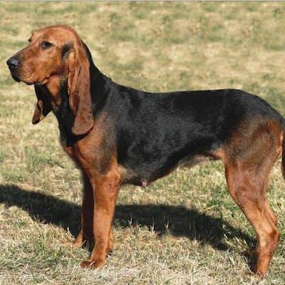 собака Малая швейцарская гончая