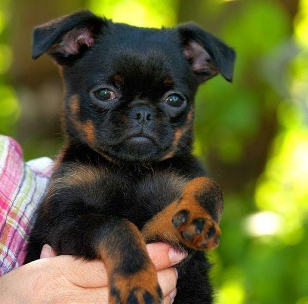 цена щенка короткошерстного гриффона