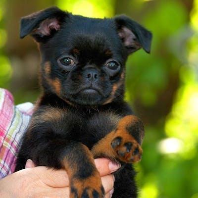 щенок породы Пти-брабансон