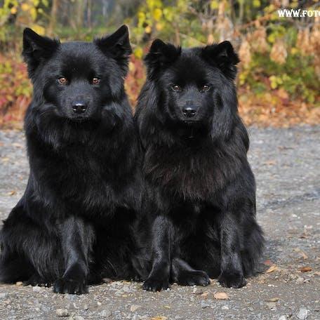 собаки Шведский лаппхунд