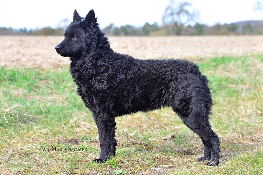 особенности породы Хорватская овчарка