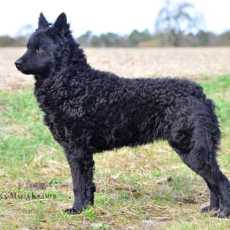 особенности собаки Хорватская овчарка