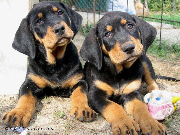 щенки собаки Трансильванская гончая