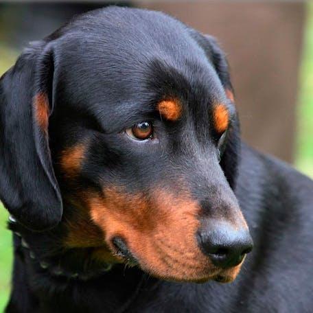 собака Словацкий копов