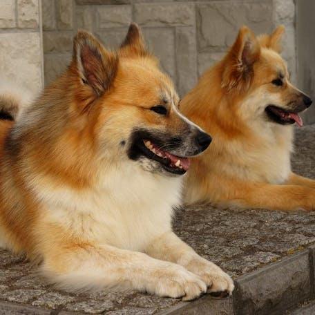 окрас породы Исландская собака