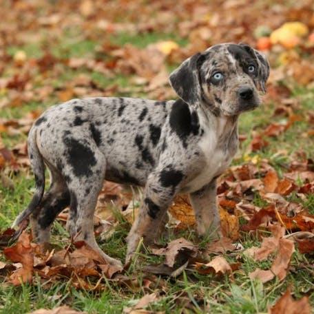 щенок породы Леопардовая собака Катахулы