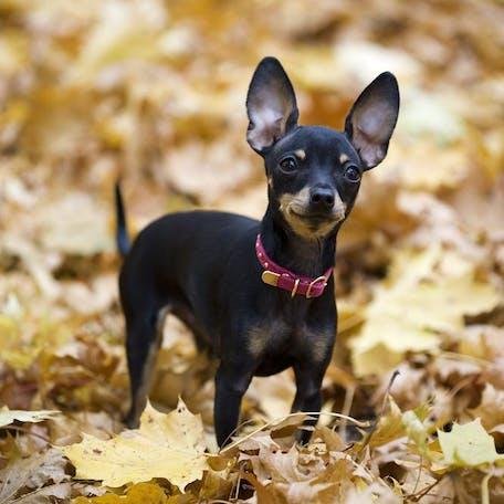 собака Пражский крысарик
