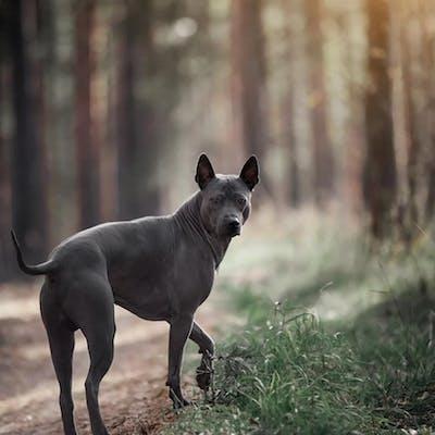 собака породы Тайский риджбек