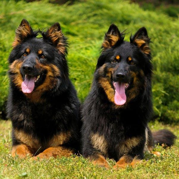 Чешская пастушья собака