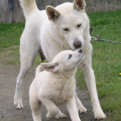 мама и щенок породы Шведский белый элкхунд
