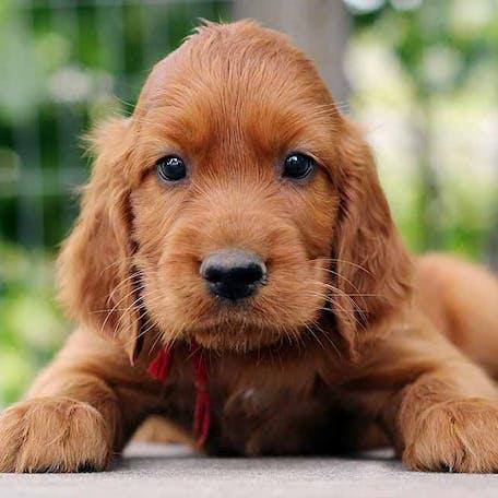 щенок породы Ирландский сеттер