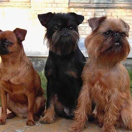 окрас породы Малая бельгийская собака