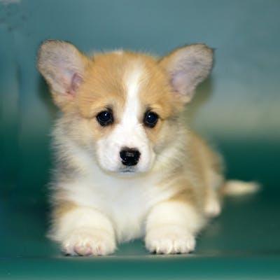 щенок породы собаки вельш-корги пемброк