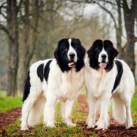 собаки породы Ландсир