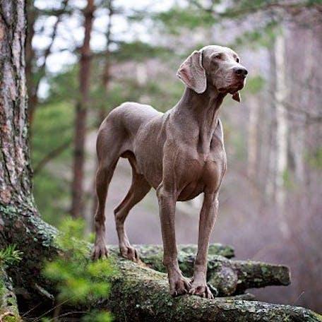 порода собаки веймаранер