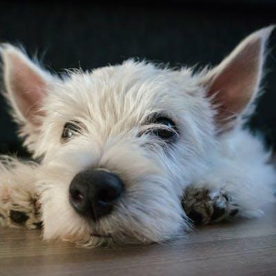 порода собаки вест-хайленд-уайт-терьер
