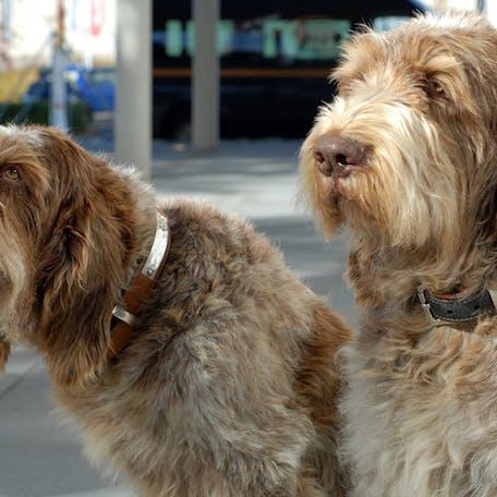 собака породы Итальянский спиноне