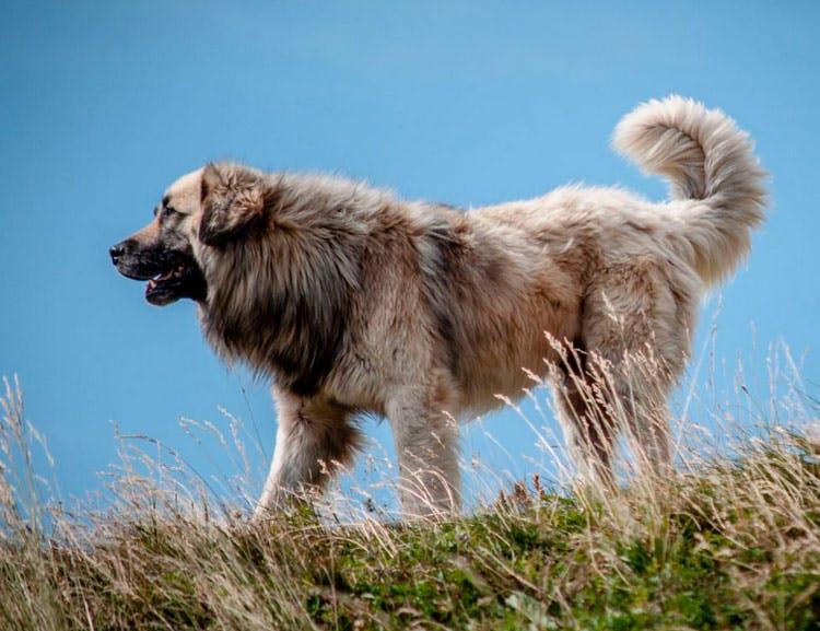 особенность породы Румынская карпатская овчарка