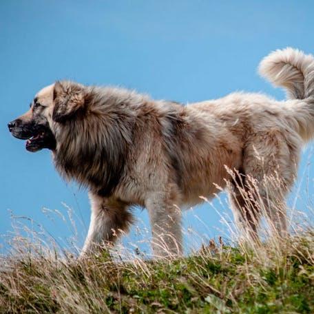 размер породы Румынская карпатская овчарка