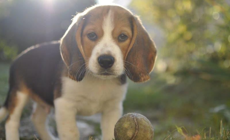 дрессировка породы собаки бигль