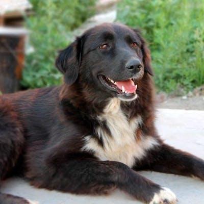 собака породы Тувинская овчарка