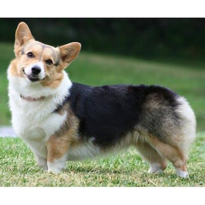 собака вельш-корги пемброк