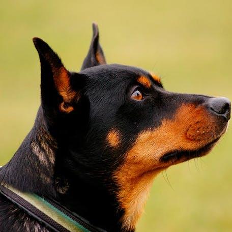 собака Ланкаширский хилер