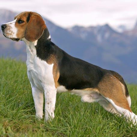 фото породы собаки бигль