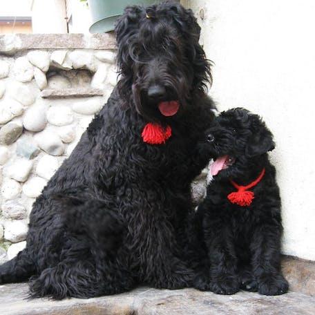 мама и щенок  пороы Русский черный терьер