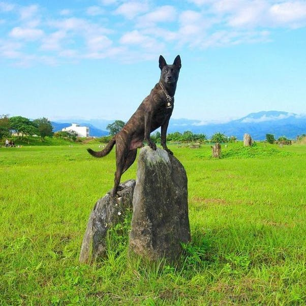 Тайваньская собака